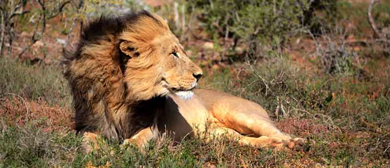 Black maned Lion on a Windy Day - www.photo-safaris.com